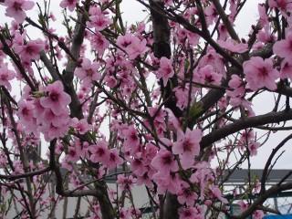 作業場の桃の花今年も満開