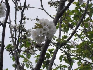 さくらんぼの花、満開