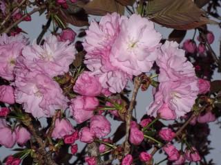八重桜の花咲き出す